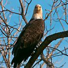 Bald Eagle II by Gary Lengyel