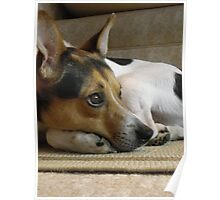 Max -Jack Russell Terrier Poster