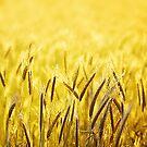 golden wheat by BlaizerB