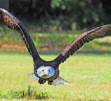 """Bald Eagle Headed Right For Me  *""""RUN""""* by imagetj"""