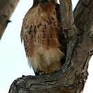Red Tail Hawk Resting Up Close  by DARRIN ALDRIDGE