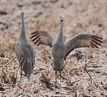 Sandhill Cranes (Mating Dance or Playful Banter) by Bradley Nichol