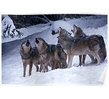 Howling wolves in winter Poster