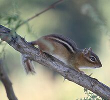 My First Wild Chipmunk? by reindeer