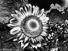 Sunflower Fields Forever by Marcia Rubin