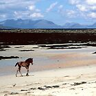 Foal on beach, Isle of Muck by Kevin Allan