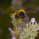 Bee - Summer by Darren Peet