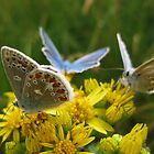 Blue Butterfly Party - Uist, Scotland by KerryElaine