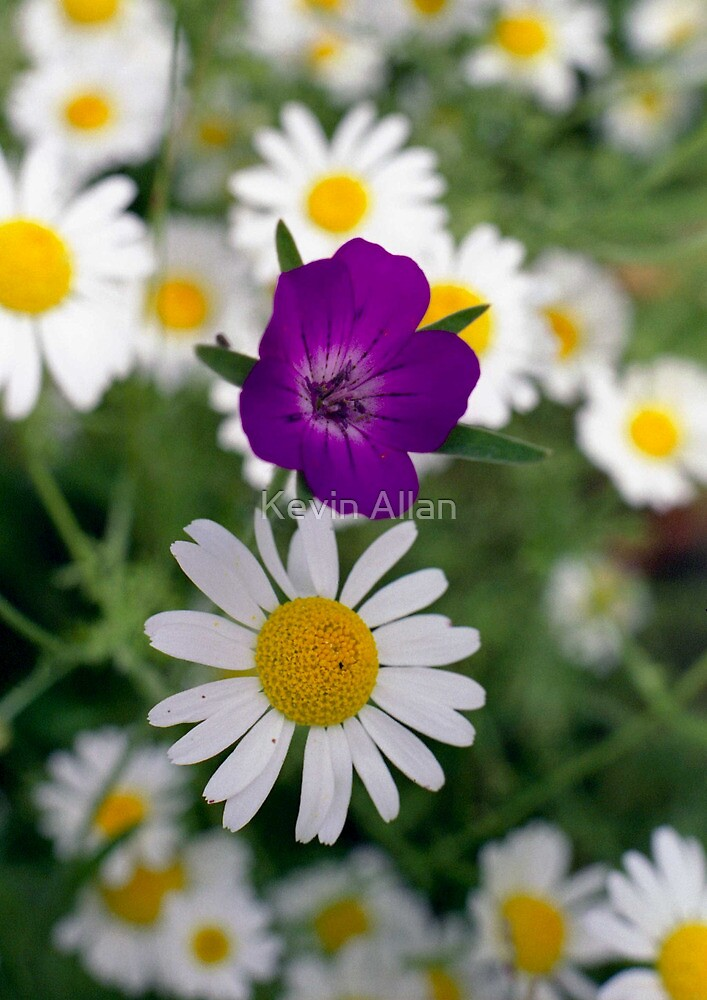 Ox eye daisies and Cranesbill by Kevin Allan