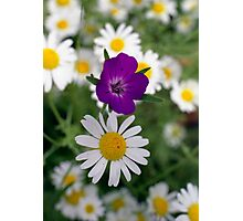 Ox eye daisies and Cranesbill Photographic Print