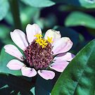 Zinnia by TheCandle