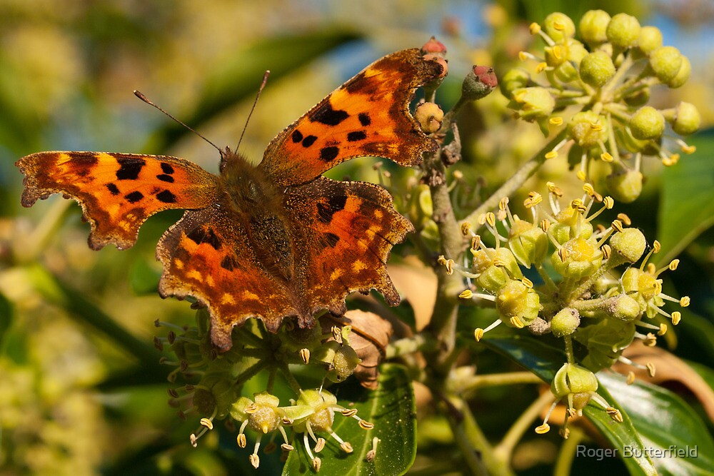Comma on Ivy Flowers by Roger Butterfield