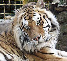 Siberian Tiger by Lidiya