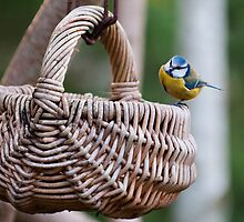 Bluetit investigates a hanging wicker basket by Andrew Jones