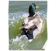 ride the wave...mallard duck  Poster