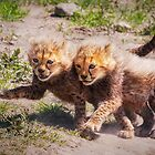 Cheetah Cubs by Scott Carr