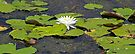 Lily and Pads by RebeccaBlackman