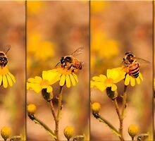 Honey bee playing ring a ring a roses... (Apis mellifera) - Free State, South Africa by Qnita
