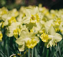 Yellow Daffodil by Bethany Helzer