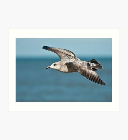 Herring Gull Art Print