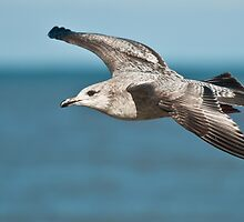Herring Gull by (Tallow) Dave  Van de Laar