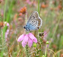 Little Blue on Heather by ienemien
