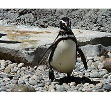 Penguin, San Francisco Zoo Photographic Print
