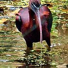 Glossy Ibis _(Plegadis falcinellus)_ by Clive