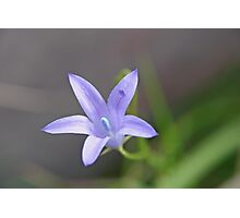 Royal Bluebell Photographic Print