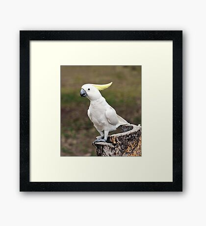 Hello Cocky - Cockatoo at Granite Gorge Framed Print
