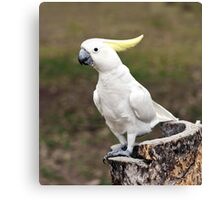 Hello Cocky - Cockatoo at Granite Gorge Canvas Print