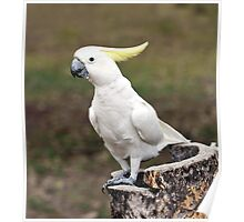 Hello Cocky - Cockatoo at Granite Gorge Poster