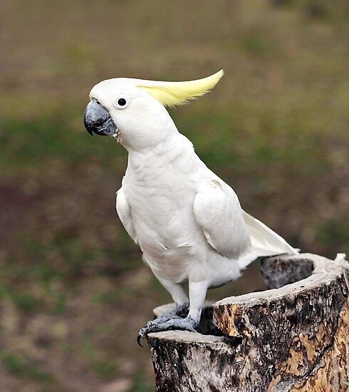Hello Cocky - Cockatoo at Granite Gorge by Jenny Dean