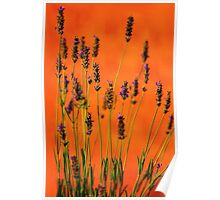 Lavenders at Sunset in Provence, FRANCE Poster