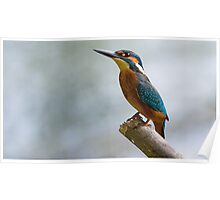 Beauty of Nature - Common Kingfisher  Poster