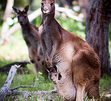 Kangaroo Mother and Joey by Paul Fulwood