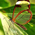 Glasswing by Jo Nijenhuis