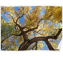 Cottonwood Tree Poster