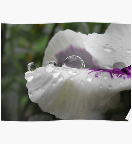 Sprinkled Pansy Petals Poster