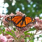 The beautiful Monarch by MarianBendeth