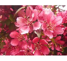 Pink Flower Blossoms Photographic Print