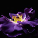 Purple Rose by Karen  Betts