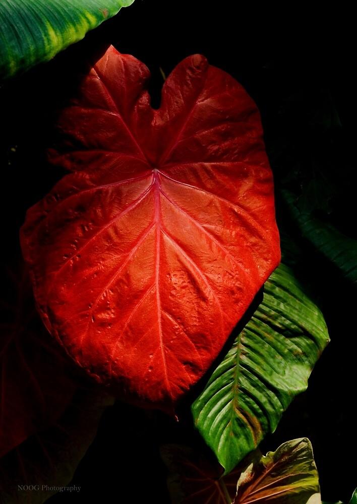 Red Elephant Ear Leaf by Jordan Miscamble