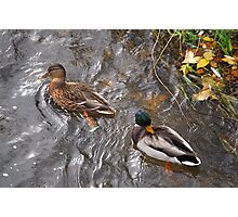 Mrs. and Mr. Duck II Photographic Print