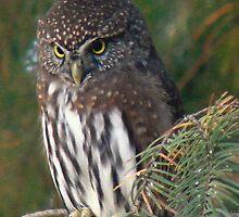 Northern Pygmy Owl by tkrosevear