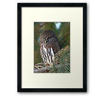 Northern Pygmy Owl Framed Print