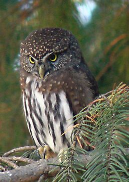 Northern Pygmy Owl by tkrosevear
