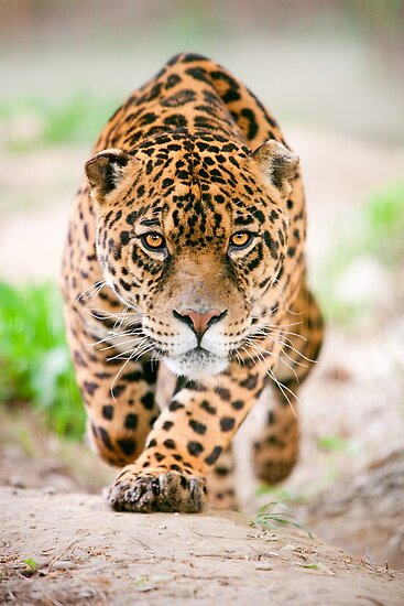 Jaguar attack by ammit