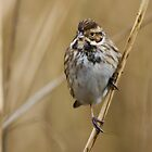 Female Reed Bunting by Peter Stone