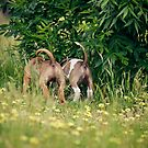 Amstaff puppy bums by ruthlessphotos